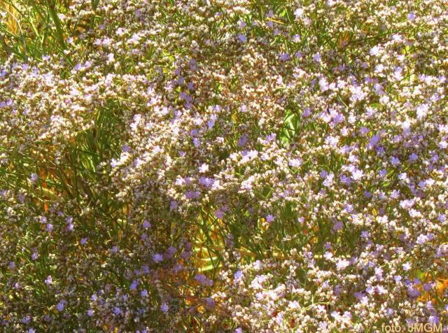 flora-manjavacas-limonium