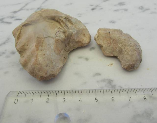 conchas fosilizadas de bivalvo ostréido, de la especie Exogyra flabelata
