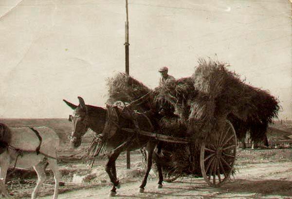 Carro con mies tirado por dos mulas en riata en Casas de Ves Albacete 20minutos